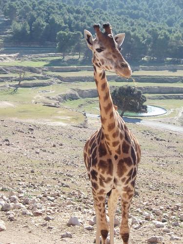Jirafa en el Safari Aitana