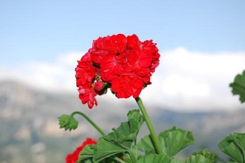 Flor roja con la Serrella de fondo