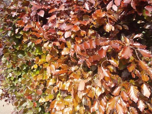 shades of beech.JPG