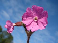 Fleur de ciel