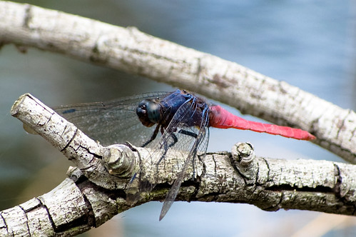 Red-bellied Skimmer