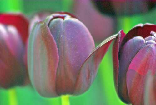 black-purple tulips from Istanbul Tulip Festival