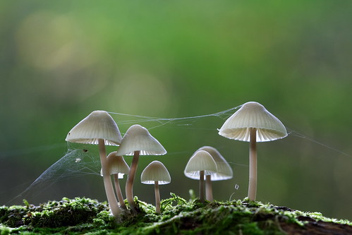 In the forest (Mycena arcangeliana)