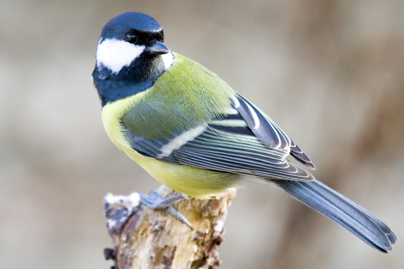 Does the Great Tit have a mask in UV-light?