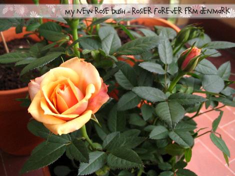 My new rose bush!
