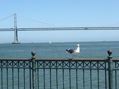 Bay Bridge with gull