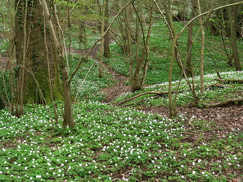 wood anemones_marline wood_20040411_01.JPG