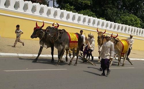 royal cows