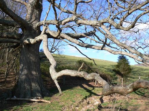 Keffer Oak - Long Winding Branches