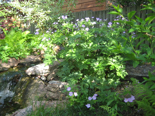 Wild geranium by the waterfall