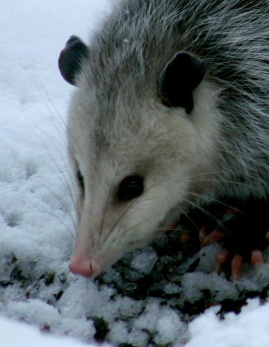 Possum at feeder