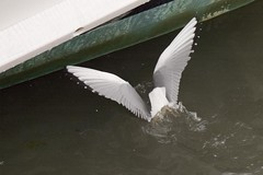 Bonaparte's Gull Dive