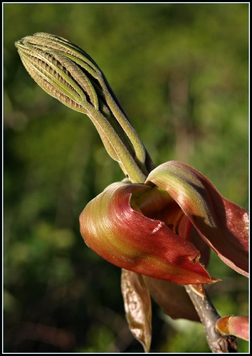 Shag Hickory, Unfurling