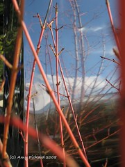 red acer stems