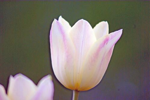white tulips, istanbul tulip festival, istanbul, pentax k10d