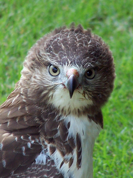 Hawk Closeup