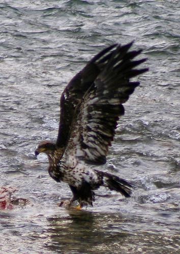 3rd year Bald Eagle