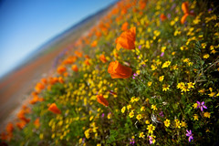 Desert Bloom - Antelope Valley, CA