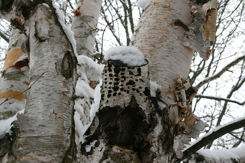 Woodpecker1