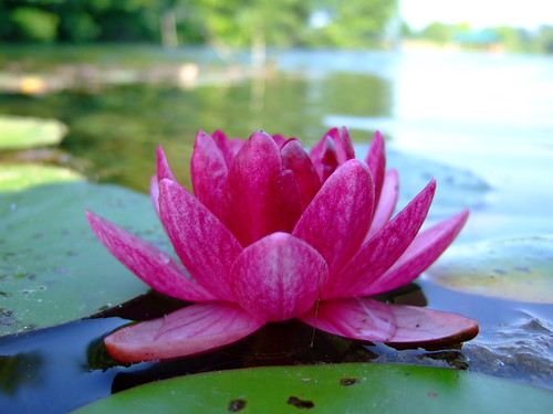Lily on the Pond