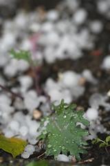 Kale in hail