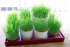 wheat grass6