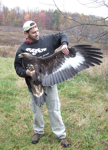 Todd Katzner showing underwing of golden eagle