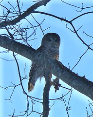 Afternoon barred owl