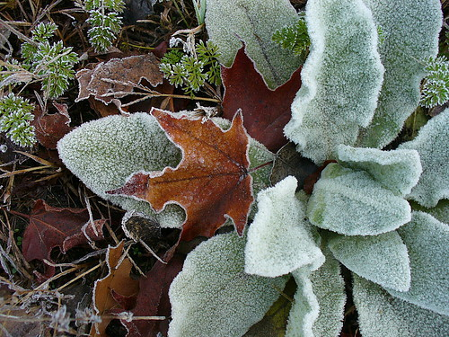 Frosted mullein with maple
