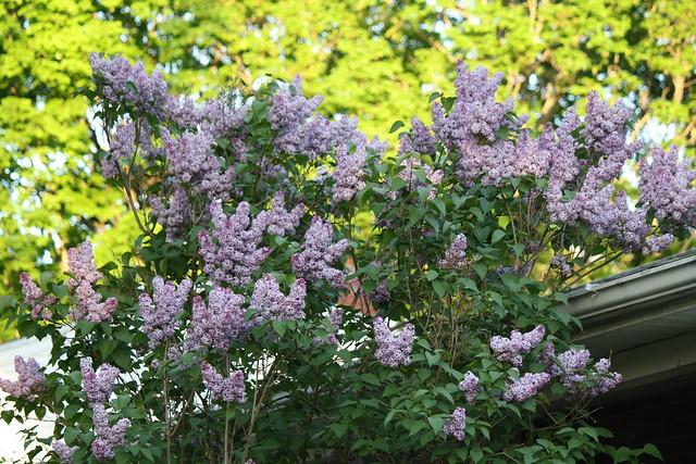 lots o' lilacs
