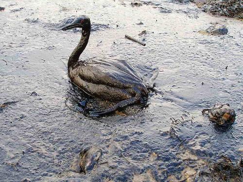 Oiled Bird - Black Sea Oil Spill 11/12/07 by marinephotobank.