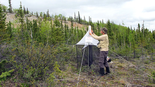 Ruben sets up a Malaise trap in Norman Wells, NWT