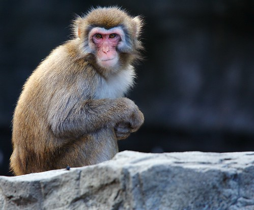 Snow Monkey im Central Park Zoo New York