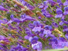 Penstemon 03