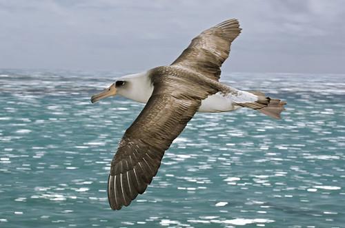 vuelo de albatros