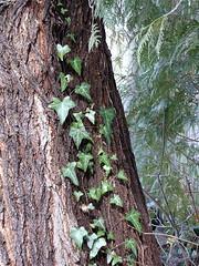 Ivy on evergreen