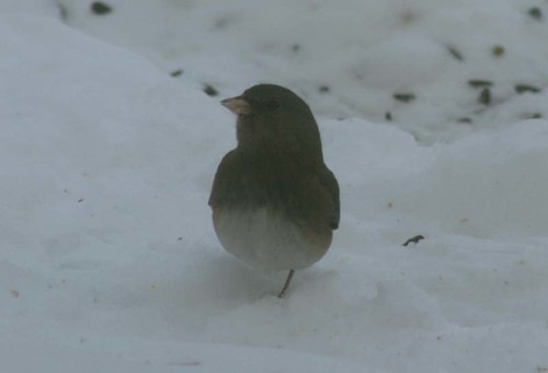 Junco with cold feet