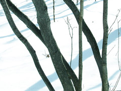 Spicebush trunks, Easter 2008