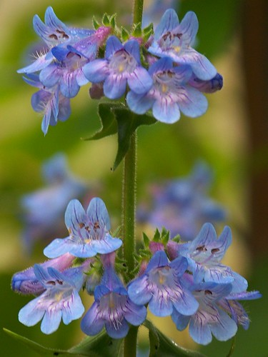 Broadbeard beardtongue