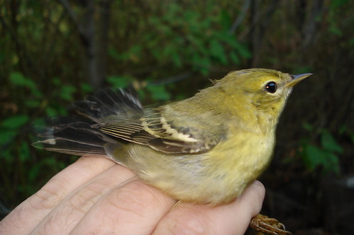 Confusing fall warbler