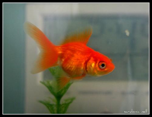 Nugget, Nicho's Pet Goldfish