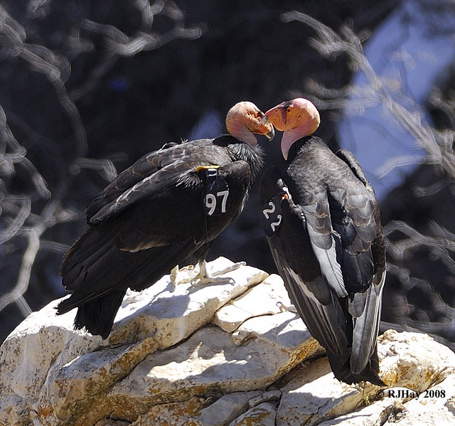 Grand Canyon South Rim - California Condor