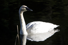 Trumpeter Swan (Adult) - A species once threat...