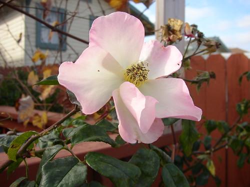 december rose open