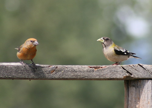 evening grosbeak and red crossbill