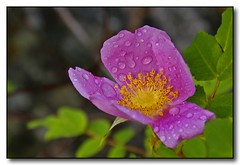 Wild Rose After A Spring Rain