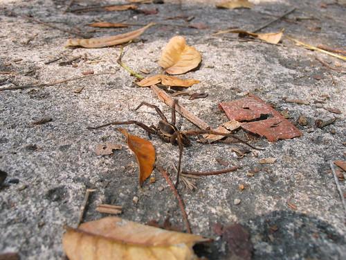 5-legged spider