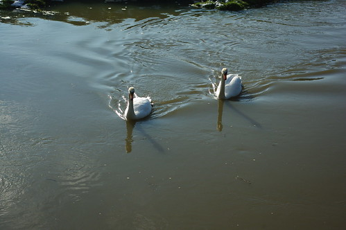 20100220-22_Pair of swans on The River Avon - Wolston by gary.hadden