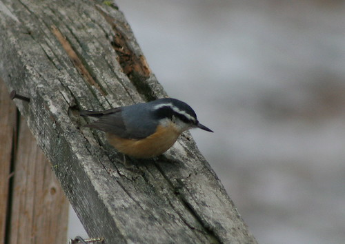 red-breasted nuthatch 2