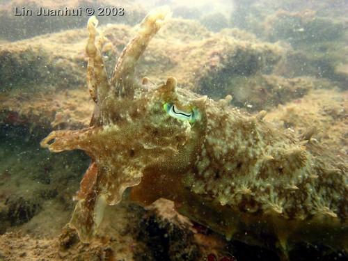 IMG_4160 cuttlefish